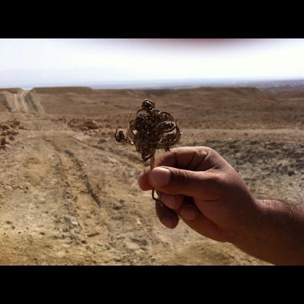 lungo la strada abbiamo trovato una rosa di Gerico o rosa del deserto. Israele foto di @ale9ssandra